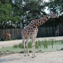 埼玉県宮代町 東武動物公園 キリン 動物 無料写真素材 あみラボ