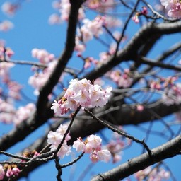 桜 花びら 素材 無料 無料アイコンダウンロードサイト