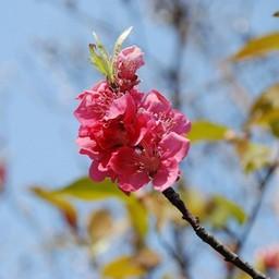 埼玉県川口市 花もも 草花 3月撮影 無料写真素材 あみラボ