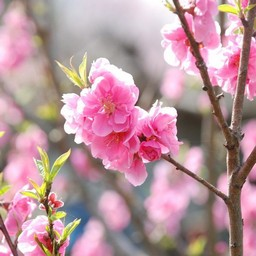 埼玉県川口市 桜 草花 3月撮影 無料写真素材 あみラボ