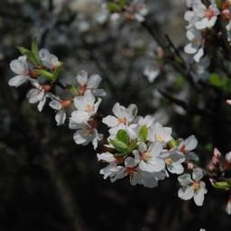 埼玉県越谷市市登戸町 白い花 草花 3月撮影 無料写真素材