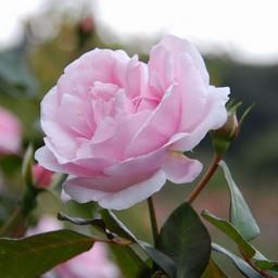新しいコレクション バラ 花びら イラスト 無料ダウンロードアイコンの王国