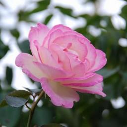 0以上 薔薇 画像 無料 Yoaikonmaneh